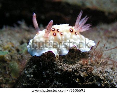 white and pink nudibranch - stock photo