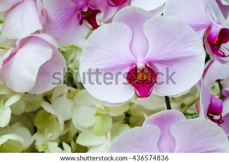 White and pink orchid flower for nature background, flower background concept - stock photo