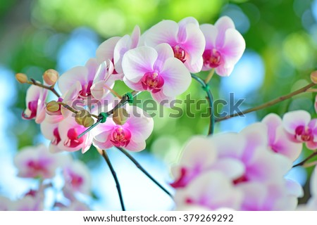 White and Pink Phalaenopsis orchids hybrid close up at Royal Rajchapuak Park,Chiangmai Thailand Thai orchids - stock photo