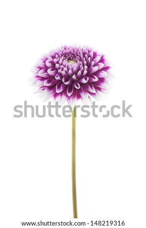 white and purple coloured dahlia isolated on white background - stock photo