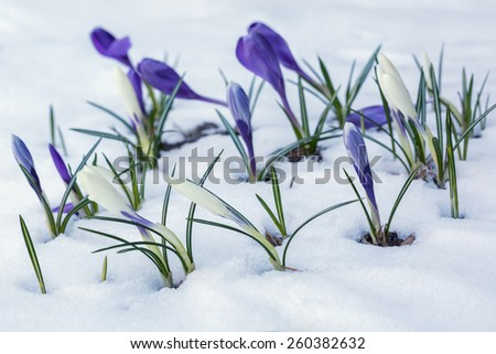 White and purple crocuses growing on a snow-covered flowerbed in the early spring. - stock photo