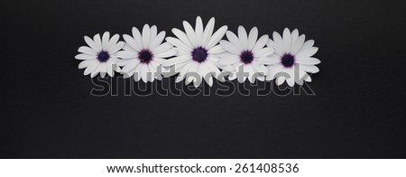 white and purple daisies on black background - stock photo