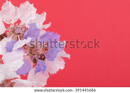 White and purple flower on red background, Lagerstroemia floribunda The beauty of summer in Thailand/ pastel soft focus, Copy space