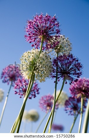 White and purple flowers against blue sky - stock photo