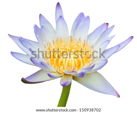 White and Purple lotus isolate flower - stock photo