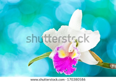 White and red orchid isolated on blue