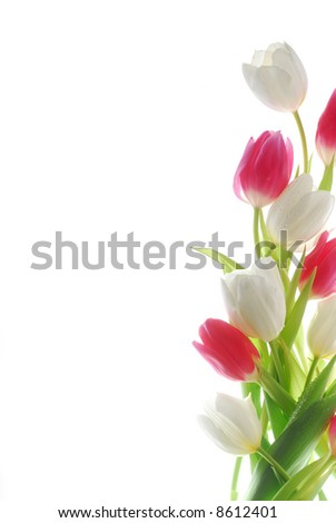 white and red tulips against white background - stock photo