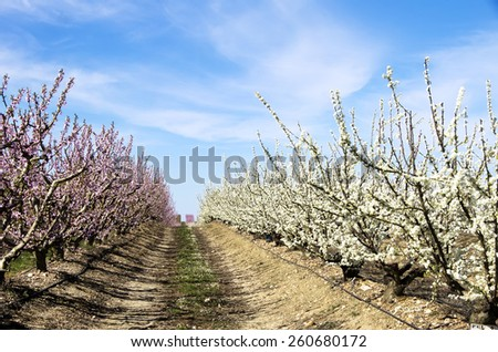 white and rose fruit trees in blossom - stock photo