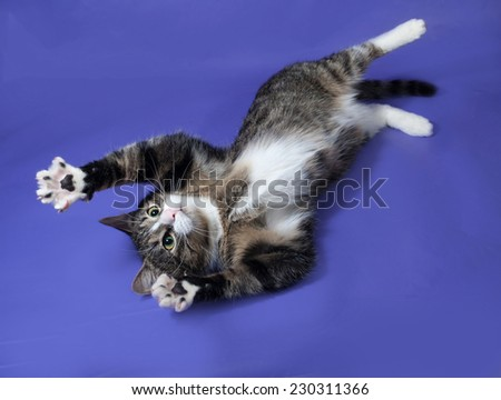 White and striped spotted cat plays on blue background - stock photo