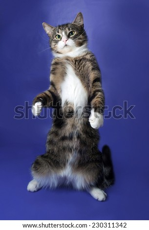 White and striped spotted cat standing on hind legs on blue background - stock photo