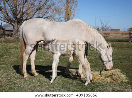 white and tan baby horse feeding from mother full-length