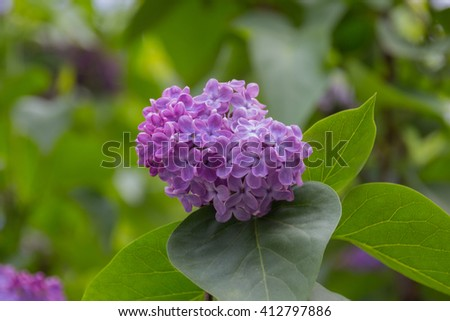 White and violet lilac flowers. - stock photo