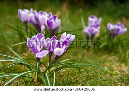 White and violet Pickwick crocus in the grass - stock photo