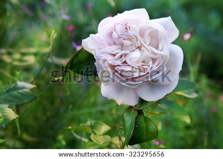 White and violet rose called Hercules,  flower details. - stock photo
