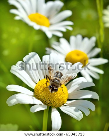 white and yellow camomile closeup in nature - stock photo