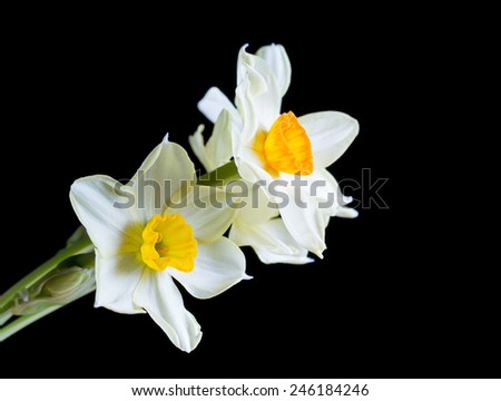 White and yellow daffodil on black - stock photo