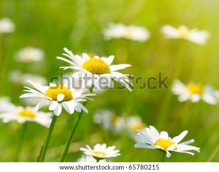 White and yellow daisies - stock photo