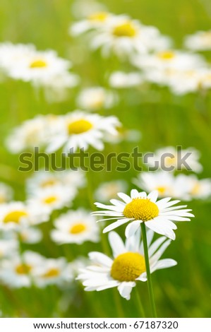 White and yellow daisies - stock photo