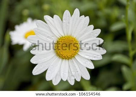 White and yellow daisies in the garden