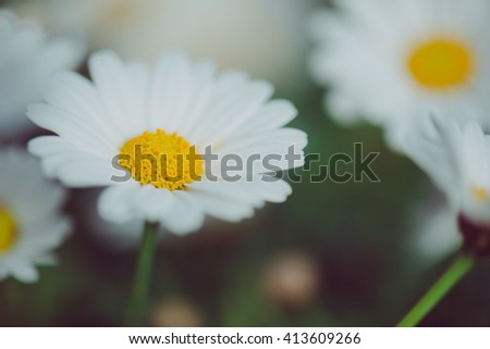 White and yellow flower. Detail of daisies in the grass. Macro of beautiful white daisies flowers. Daisy flower. - stock photo