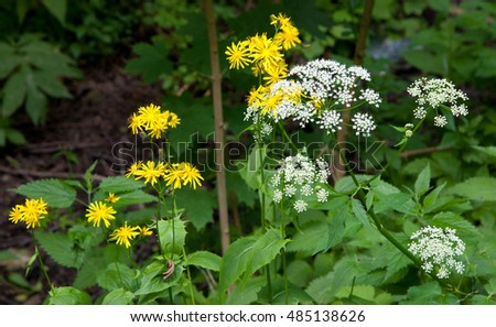 White and yellow flower in summer against blurry background, Bialowiza Forest, Poland, Europe