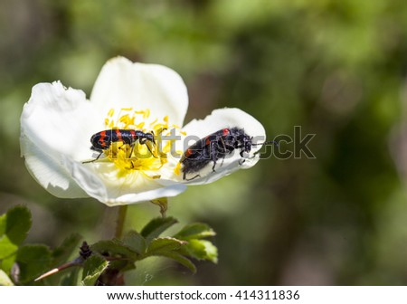 White and yellow flower with black and red insects eating nectare