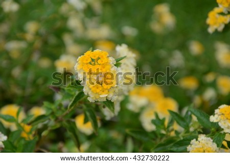 White yellow flowers green leaves background stock photo royalty white and yellow flowers with green leaves background call lantanaflower wild sageflower or mightylinksfo
