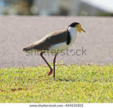 White and Yellow Plover bird Queensland, Australia