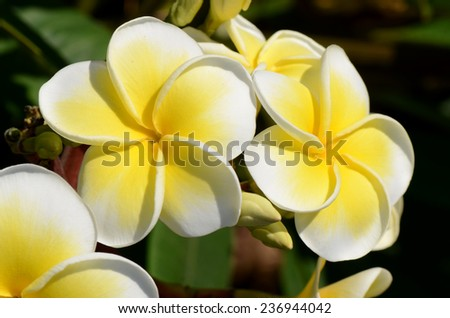White and yellow Plumeria spp. (frangipani flowers, Frangipani, Pagoda tree or Temple tree) on bright sunlight. - stock photo