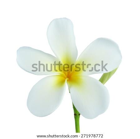 white and yellow Plumeria spp isolated on white background. - stock photo