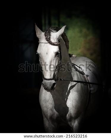 white andalusian dressage stallion - stock photo