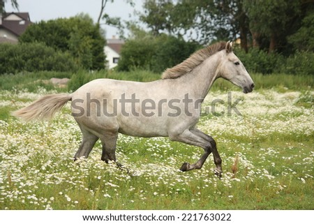 White andalusian horse galloping at flower field - stock photo