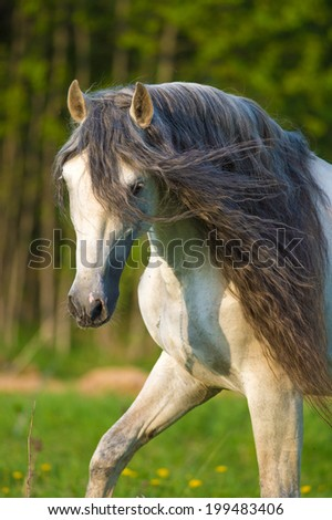 White Andalusian horse portrait in summer time - stock photo