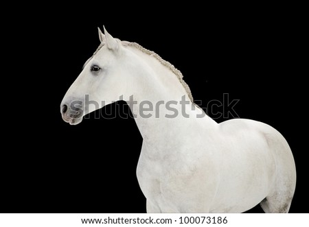 white andalusian horse portrait on black - stock photo