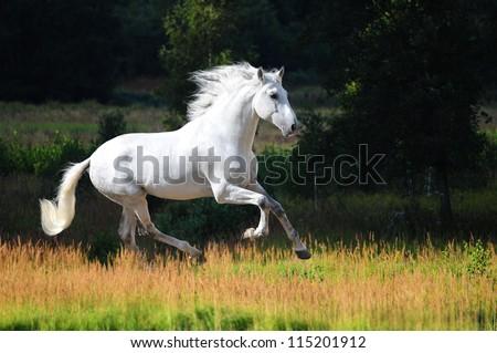 White Andalusian horse (Pura Raza Espanola) runs gallop in summer time - stock photo