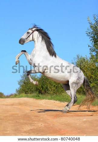 white andalusian horse rears - stock photo