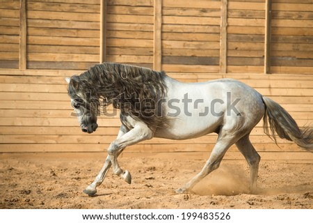 White Andalusian horse runs gallop - stock photo