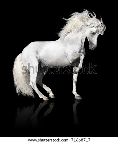 white andalusian horse stallion isolated on black background - stock photo