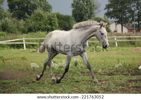 White andalusian horse trotting free at flower field - stock photo