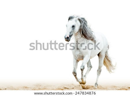 white Andalusian stallion - stock photo