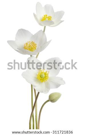White anemone flowers  isolated on white background - stock photo