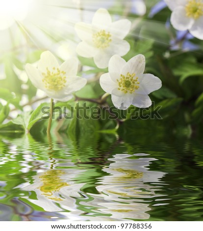 White anemone in water with water drops and sun - stock photo