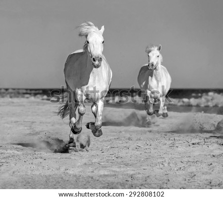 White Antigravity Camargue Horses running on the beach in Parc Regional de Camargue - Provence, France (black and white) - stock photo