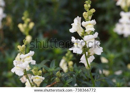 White antirrhinum majus snapdragon flowers growing stock photo white antirrhinum majus snapdragon flowers growing in the garden mightylinksfo