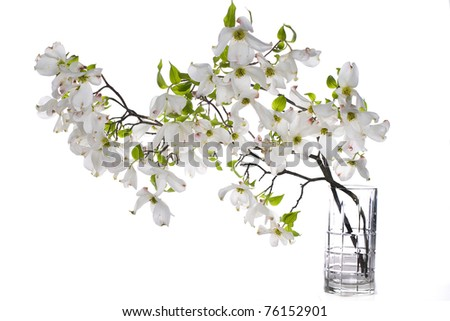 White apple blossoms with solid background