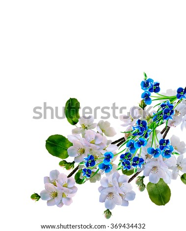 White apple flowers branch isolated on white background. delicate flowers - stock photo