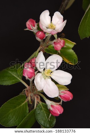 White apple flowers branch on black background  - stock photo