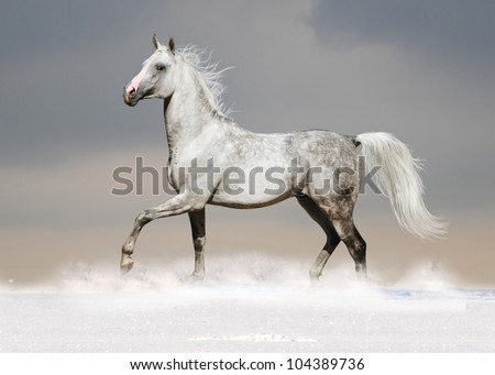 white arab horse in the snow - stock photo