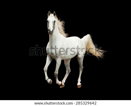 white arabian horse galloping isolated on black background