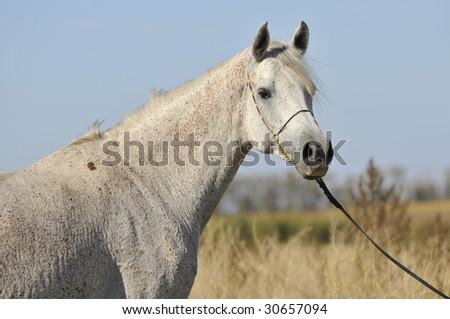 white arabian horse portrait - stock photo